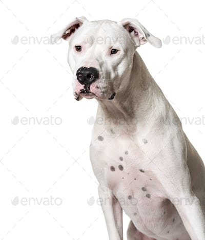 Close-up of a Sitting Argentine Dogo dog, cut out