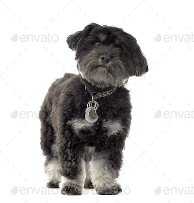 Havanese dog standing, cut out