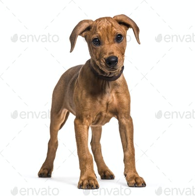 German Pinscher dog standing, cut out