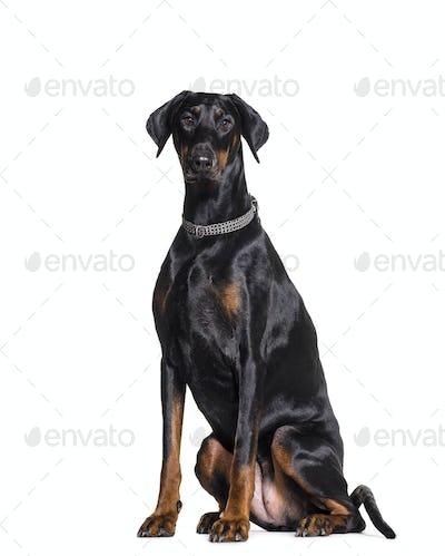 Sitting Dobermann Dog wearing a collar, cut out