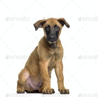 Malinois dog sitting, cut out