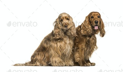 Two English Cocker Spaniel dogs sitting together, isolated