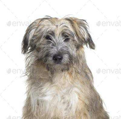 Close-up of a Pyrenean Shepherd, Dog, pet, studio photography, cut out