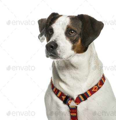 Close-up of a Mixed-breed dog in front of a white background