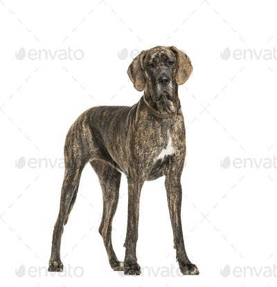 Great Dane dog standing, cut out