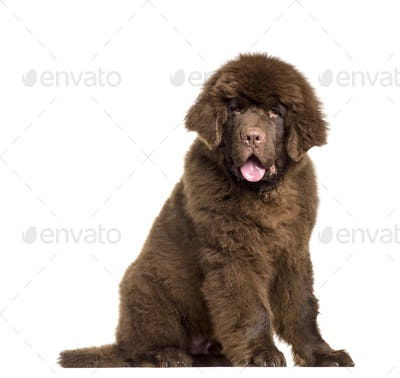 Newfoundland dog sitting, panting, cut out