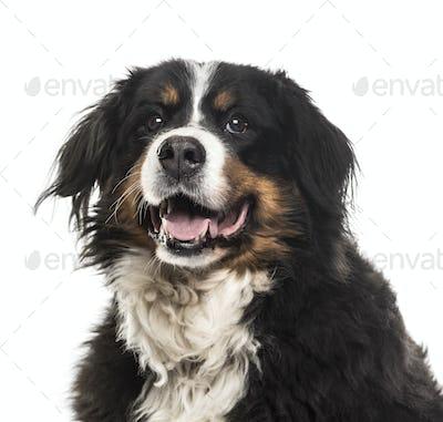 Close-up of a Bernese Mountain Dog panting, cut out