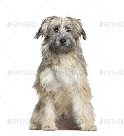 Grey Sitting Pyrenean Shepherd Dog, cut out