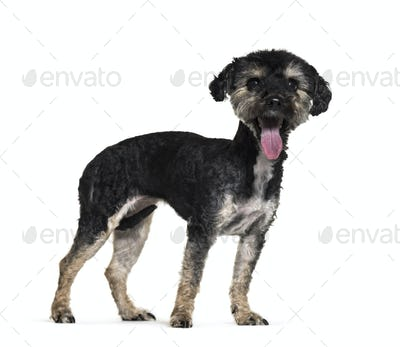 side view of a panting Mixed-breed dog standing, cut-out