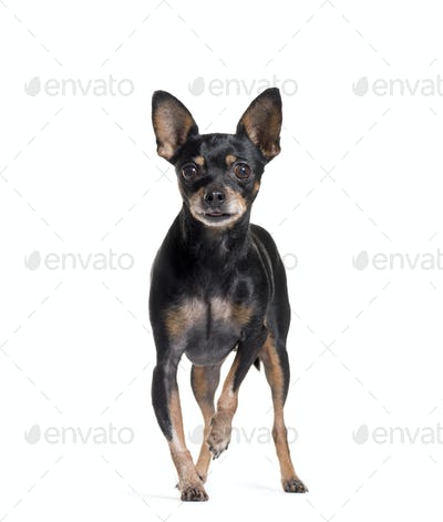 standing of a Miniature Pinscher, isolated on white