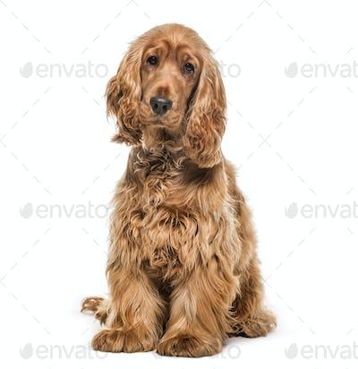 English Cocker, Dog, pet, studio photography, cut out