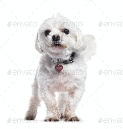 Panting White Maltese dog, sitting, cut-out