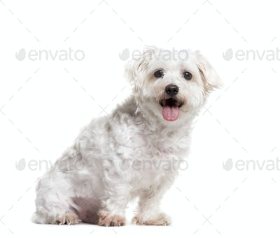 Panting Maltese dog sitting on a white background