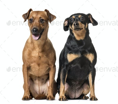 Two Miniature Pinschers sitting together, dogs, isolated on white