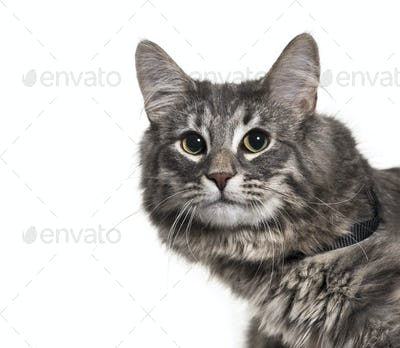 Close-up of a Norwegian Forest Cat Isolated