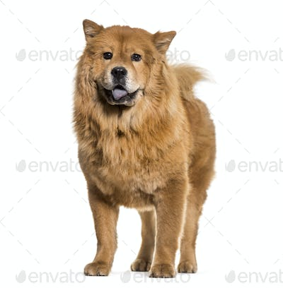 Chow-chow dog standing and panting, cut out