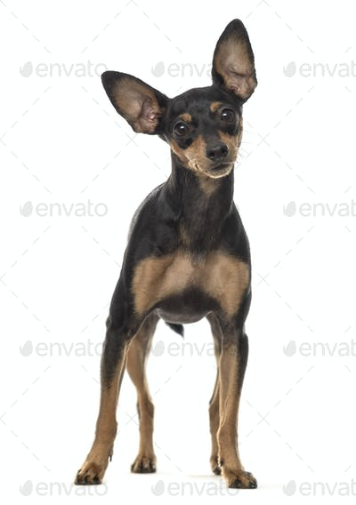 Miniature pinscher dog standing, cut out