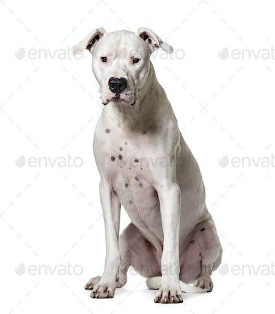 Sitting Argentine Dogo dog, cut out
