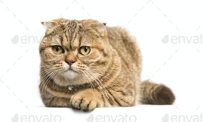 Scottish Fold cat lying down, isolated