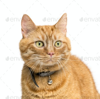 Close-up of a Ginger Mixed-breed cat isolated on white