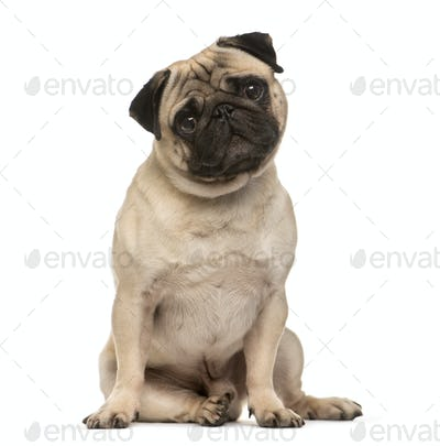 Sitting Beige Pug Dog looking at the camera isolated on white