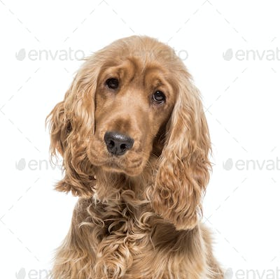Close-up of a brown English Cocker Dog, cut out