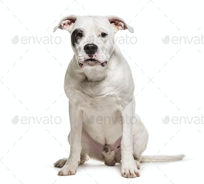 Dogo Argentino, Dog, pet, studio photography, cut out