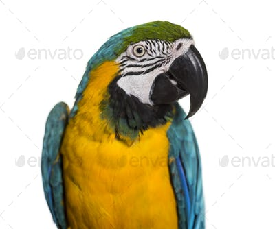 Close-up of Blue-and-yellow macaw, cut out