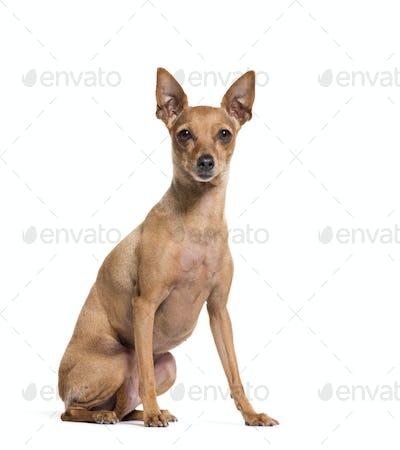 Miniature Pinscher sitting on a white background
