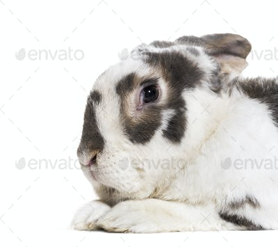 Close-up of French Lop, cut out