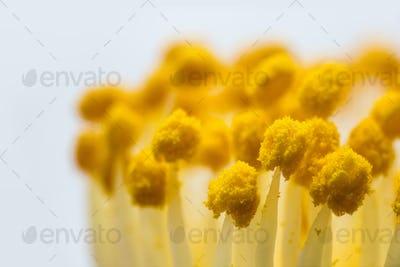 flower pistil closeup