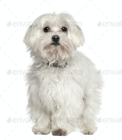 Maltese dog, 11 years old, standing in front of white background