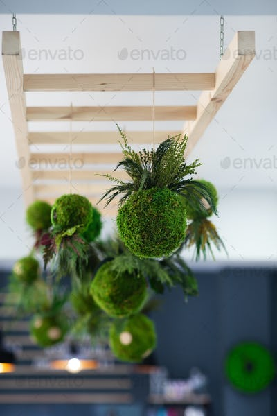Hanging Kokedama with fern for decoration indoor