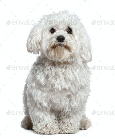 Maltese dog, 1 and a half years old, sitting in front of white background