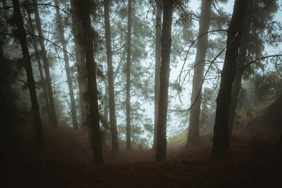 Pine trees in mysterious foggy forest. Rainy and misty weather. Fog comming from Cova crater into