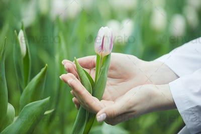 Woman growing tulips