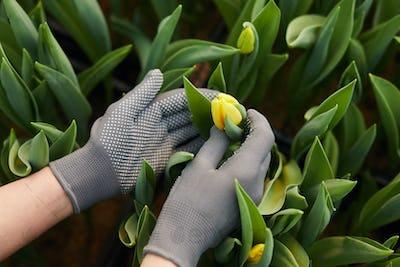Yellow tulips in greenhouse
