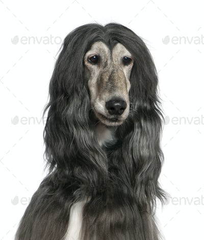 Close-up of Afghan hound, 7 years old, in front of white background