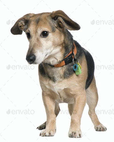 Mixed-breed dog, 7 years old, standing in front of white background