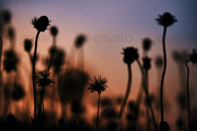 Silhouette tiny flower and sunset sky