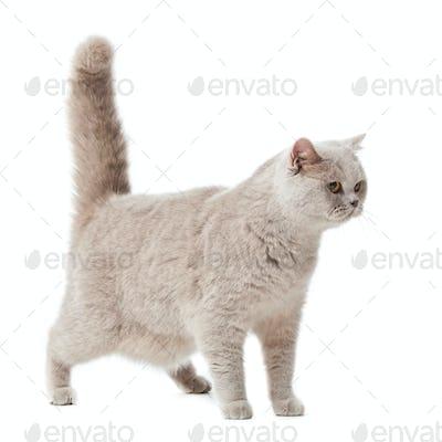 Brit cat 06