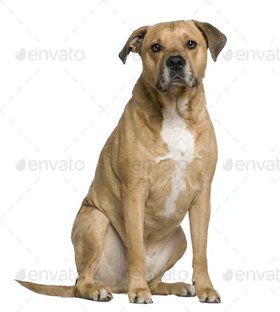 Mixed American Staffordshire Terrier, 6 years old, sitting in front of white background