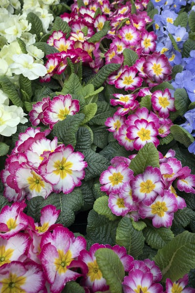 Variety of cultivated primula