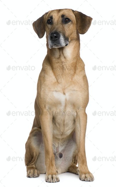 Mixed Malinese dog, 6 years old, sitting in front of white background