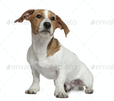 Jack Russell Terrier, 5 months old, sitting in front of white background