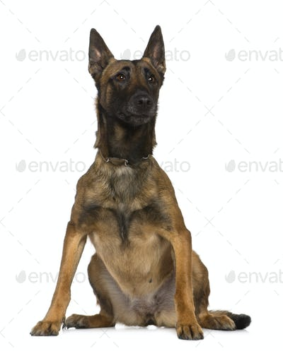 Belgian shepherd dog sitting in front of white background