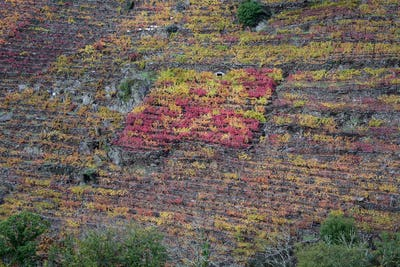 Small Vineyard of different Variety contrasts in color with the rest