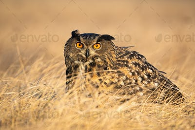 Scared eurasian eagle-owl hiding in grass in autumn