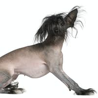Chinese hairless crested dog, 2 and a half years old, in front of white background
