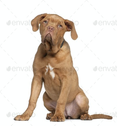 Dogue de Bordeaux puppy, 5 months old, sitting in front of white background
